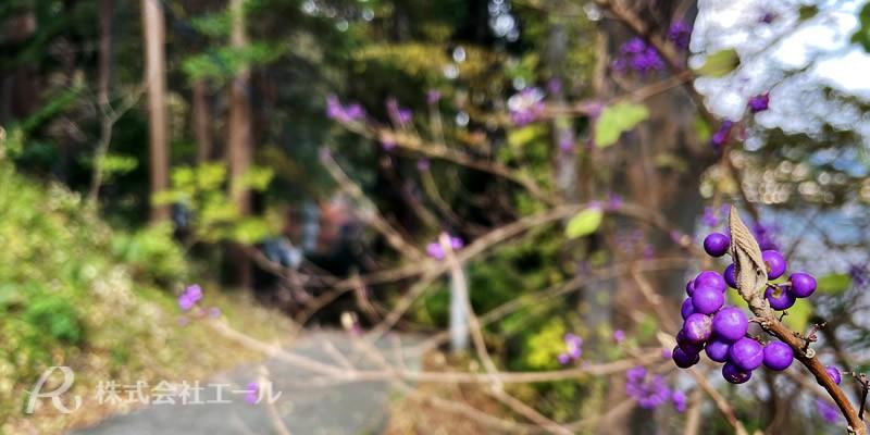 函館市谷地頭町の函館八幡宮 女坂に実る小紫の実